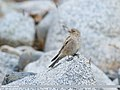 Black-winged Snowfinch (Montifringilla adamsi) (31715814148).jpg