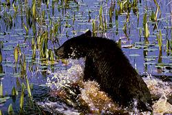 L'Ours 4  dans OURS 250px-Black_Bear_Cub