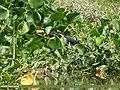 Black Bittern (Ixobrychus flavicollis) (48943069307).jpg