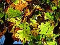 Black Oak (30784847771).jpg