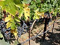 Black Stallion Winery, Napa Valley, California, USA (8334232338).jpg