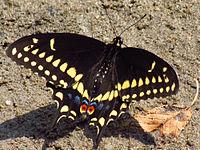 Black Swallowtail, male, Ottawa.jpg