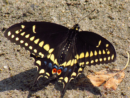 500px black swallowtail, male, ottawa