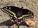 Black Swallowtail - Photo (c) D. Gordon E. Robertson, some rights reserved (CC BY-SA)