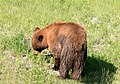 Black bear in yellowstone 3.jpg