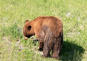 Cinnamon coloured black bear in Yellowstone Na...