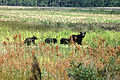 Black bear leading her cubs (5494801252).jpg