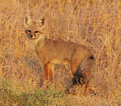 Black tailed fox (Bengal Fox) at Desert NP (cropped).jpg