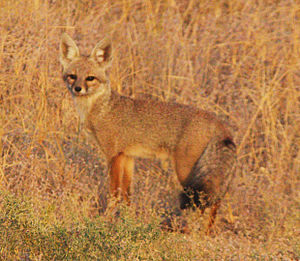 Bengal fox - Bengal fox at Desert National Park, Jaisalmer, India