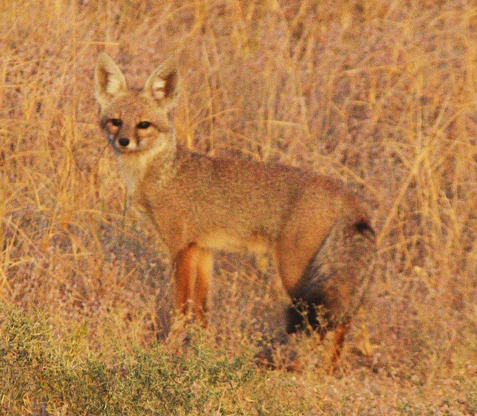 Black tailed fox (Bengal Fox) at Desert NP (cropped)