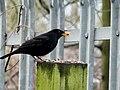 Blackbird (4406599867).jpg