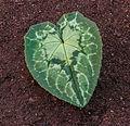 Blad van Cyclamen hederifolium. Locatie, Tuinreservaat Jonkervallei 02.jpg