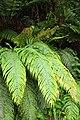 Blechnum novae-zelandiae kz19.jpg