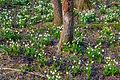 Bledule jarní v PR Králova zahrada 48.jpg