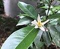 Bloom of Myer Lemon.jpg