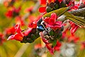 Blue-faced honeyeater with Red Silk Cotton Flowers - AndrewMercer IMG41928.jpg
