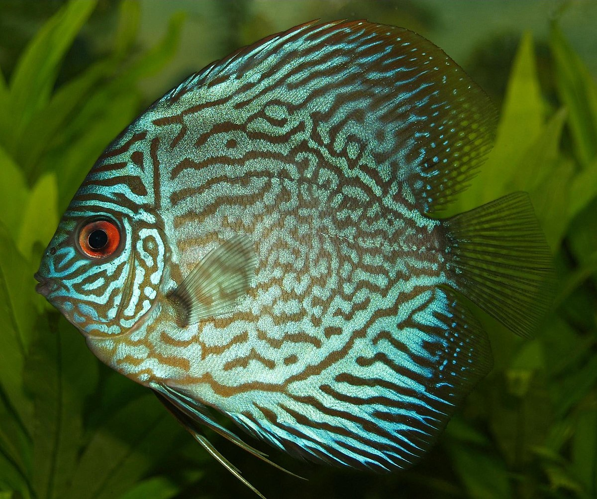 Discus (fish) - Wikipedia