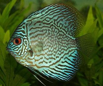 Discus (fish) - Symphysodon aequifasciatus