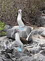Blue Footed Boobies - Espanola - Hood - Galapagos Islands - Ecuador (4870885699).jpg