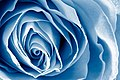 Blue Rose Macro - HDR (8690324853).jpg