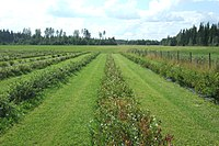Blueberry rows in Finland.jpg