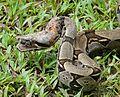 Boa constrictor amarali - Flickr - Dick Culbert (2).jpg