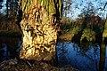 Bobrza robota. Beaver's work. - panoramio.jpg