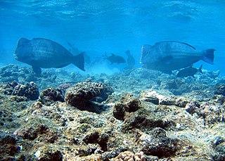 Green humphead parrotfish Species of fish