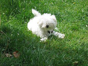 Bolognese dog - Image: Bologneser