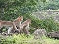Bonnet Macaques Macaca radiata Kanheri SGNP Mumbai by Raju Kasambe DSCF0056 (1) 16.jpg