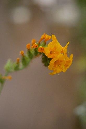 Amsinckia douglasiana - Image: Boraginaceae Douglas Fiddleneck Amsinckia douglasiana closeup