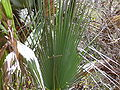 Borassus aethiopum 0028.jpg