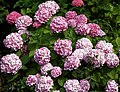 Border Hydrangea at Quex House Birchington Kent England.jpg