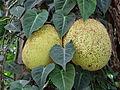 Botanical Garden of Peradeniya 58.JPG