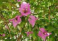 Bougainvillea glabra serres du jardin du Luxembourg 2.JPG