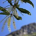 Brabejum stellatifolium (wild almond), Kirstenbosch (36149006980).jpg