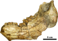 Brachycrus laticeps mooki jaw.png
