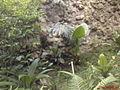 Bradypus variegatus Zoocali.jpg