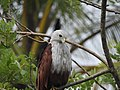 Brahminy kite (Haliastur indus)കൃഷ്ണപ്പരുന്ത് 4.jpg