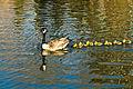 Branta canadensis -Calgary, Alberta, Canada -swimming-8.jpg