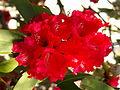 Bright, bright red (4098428299).jpg