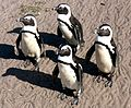 Brillenpinguine am Stony Point in Betty's Bay.jpg
