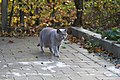 British Shorthair Cat (4160008702).jpg