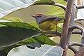 Broad-billed Warbler Senchal WLS West Bengal (cropped).jpg