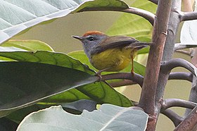 Broad-billed Warbler Senchal WLS West Bengal (cropped).jpg