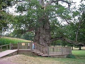 Paimpont forest - Abbot Guillotin's oak, Brocéliande forest.