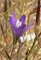 Brodiaea californica ssp leptandra 2.jpg