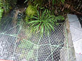 Bromeliaceae - Greigia pearcei Mez (5361144803).jpg