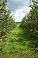 Broome Farm orchards - geograph.org.uk - 1354104.jpg