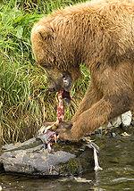 Orso bruno che si sta nutrendo di un salmone.